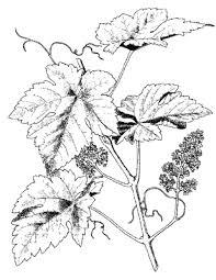 De druif is de besvrucht van de plant Vitis vinifera die behoort tot de wijnstokfamilie. De plant is een klimplant. Naast de wilde soort zijn er veel cultivars, die wordt verbouwd als druivenstok, ook wel wijnstok of wijnrank genaamd.